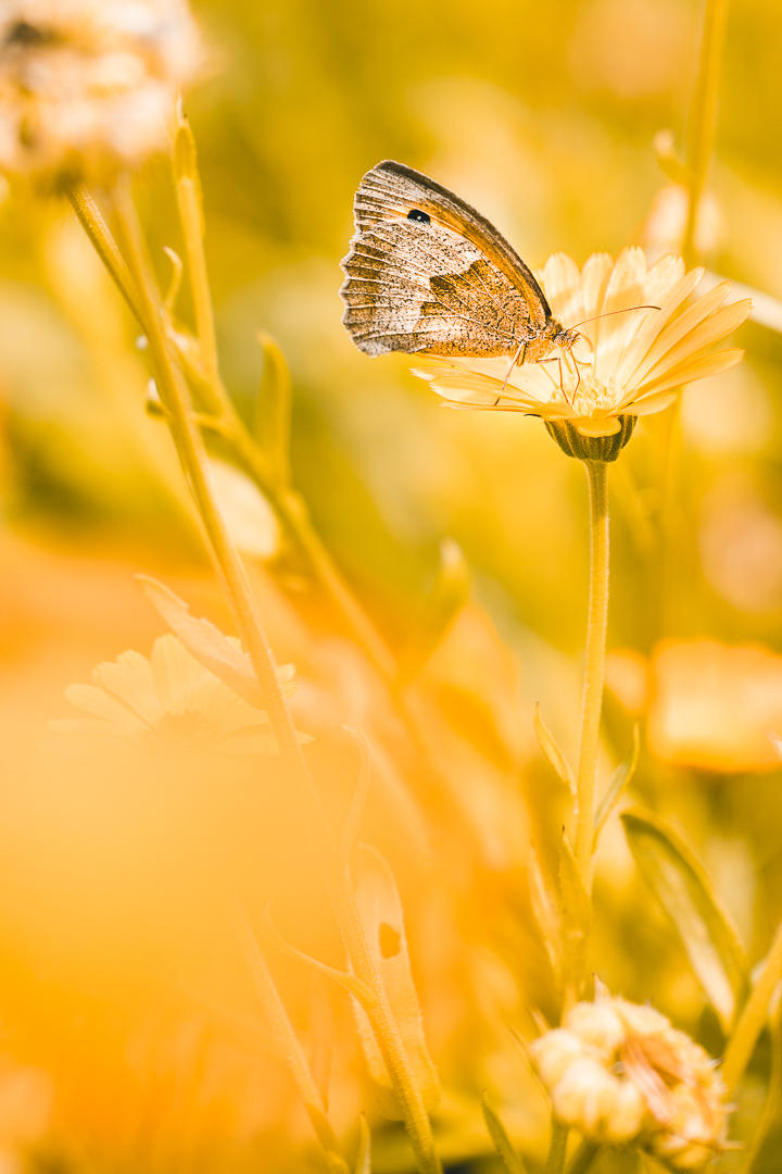 Read more about the article Meadow Brown